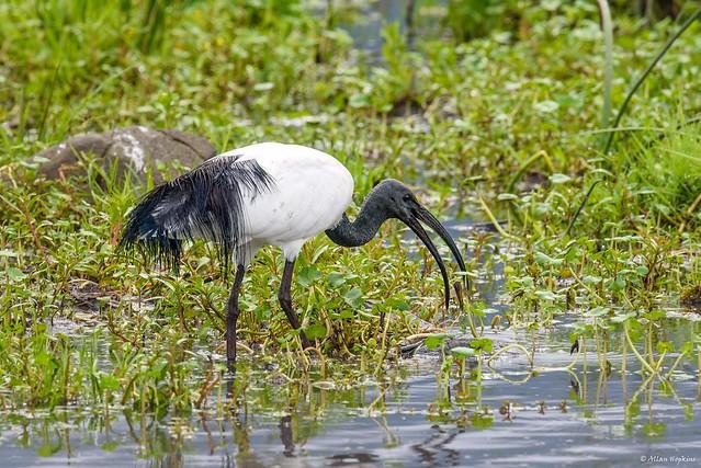 African Sacred Ibis Threskiornis, Nikon D750, AF-S Nikkor 300mm f/4E PF ED VR
