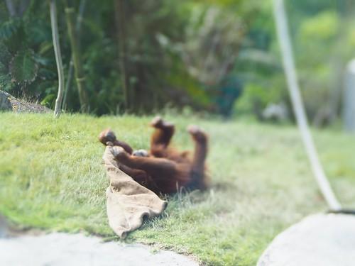 Orangutan Rolling