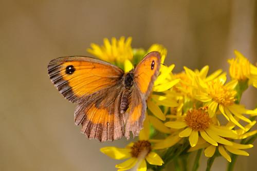 Gatekeeper butterfly, ragwort