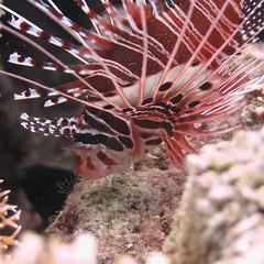 #lionfish #diving #badladz #puertogalera #marinelife