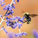 Bumble Bee by chimphotography