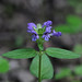 Self-heal - Prunella vulgaris