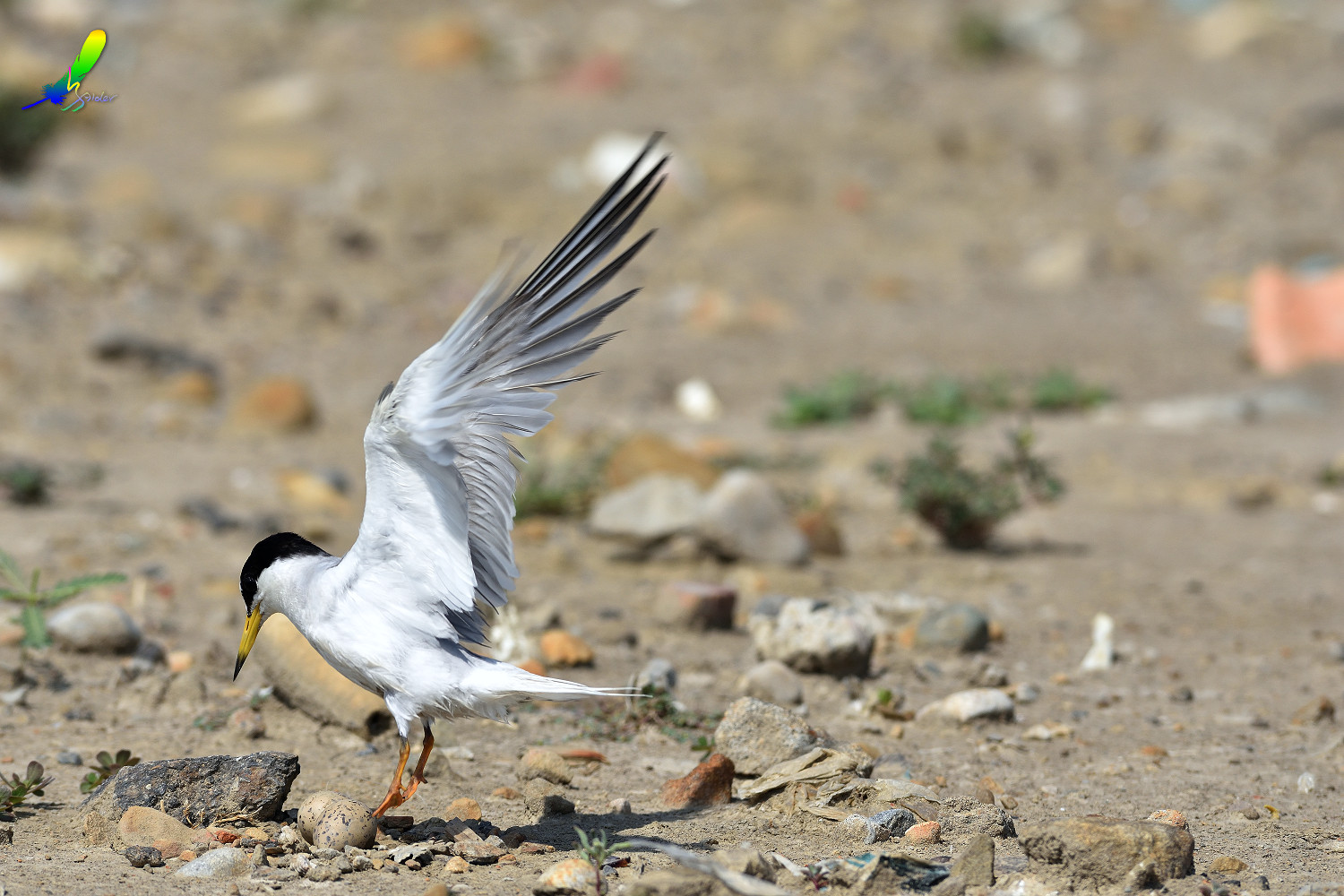 Little_Tern_9464