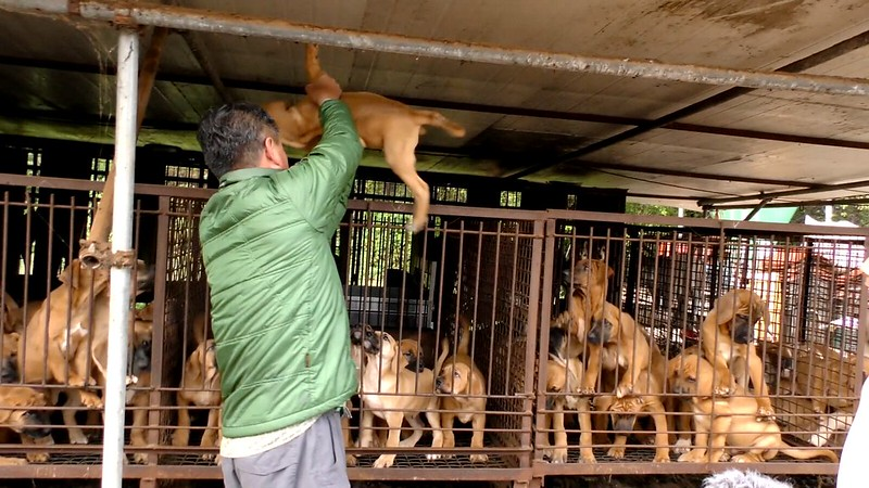 The Dog Meat Professionals: Investigating the South Korean dog meat trade