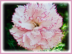 Captivating bicoloured flower of Dianthus caryophyllus (Carnation, Border Carnation, Clove Pink), 18 July 2017