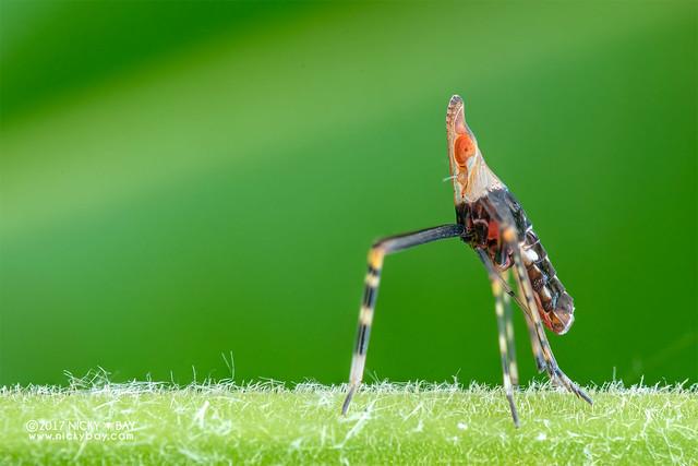 Planthopper nymph (Fulgoroidea) - DSC_7418