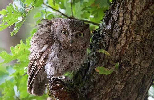 Western Screech owl (f)