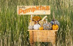 Pumpkins 2017