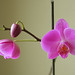 Small photo of Pink Orchid