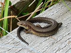 HolderCommon Lizard