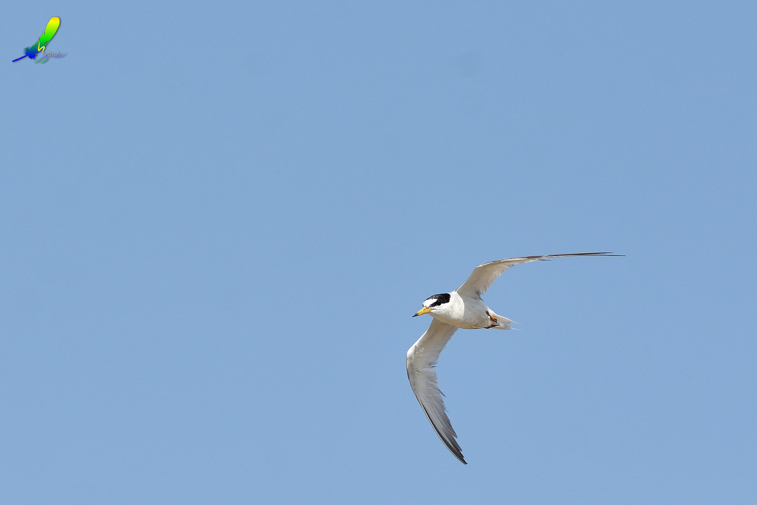 Little_Tern_9504