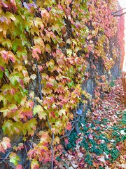 Autumn Ivy Wall