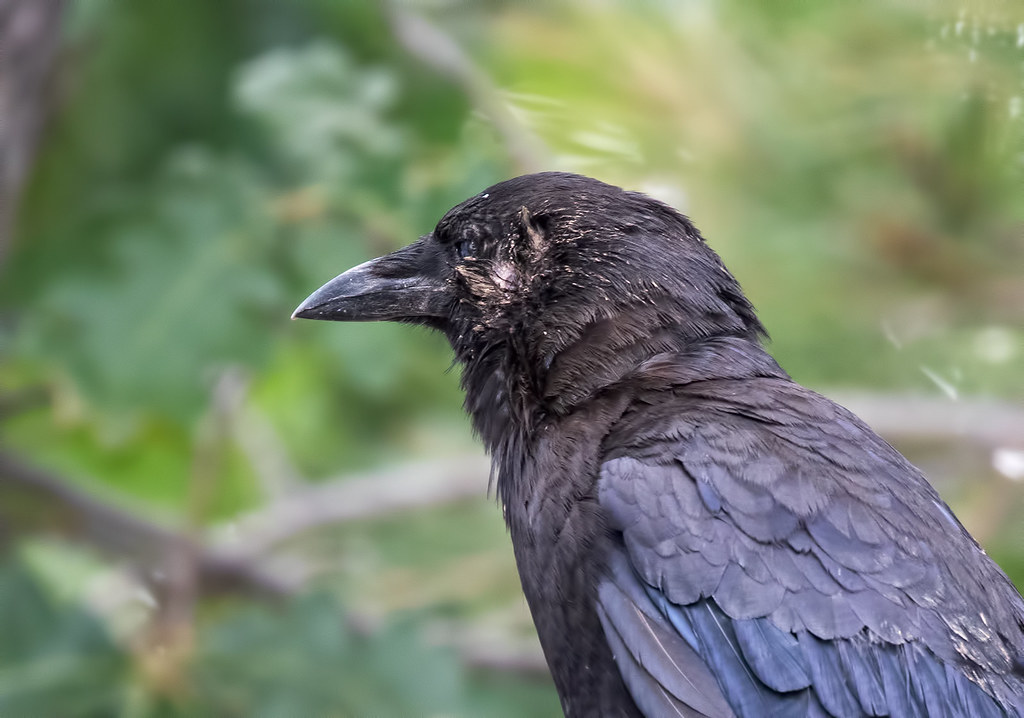 injured-Crow-131-7D2-070717