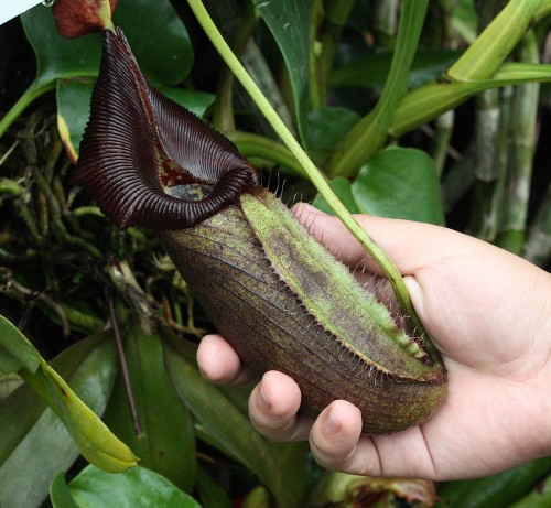 nepenthes_robcantleyi_01