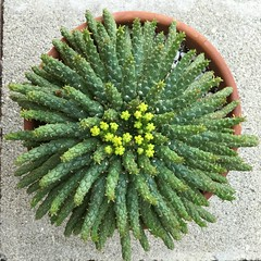 Euphorbia flanaganii - July 15, 2017