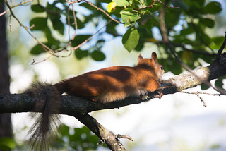 Sciurus vulgaris - resting in the shade