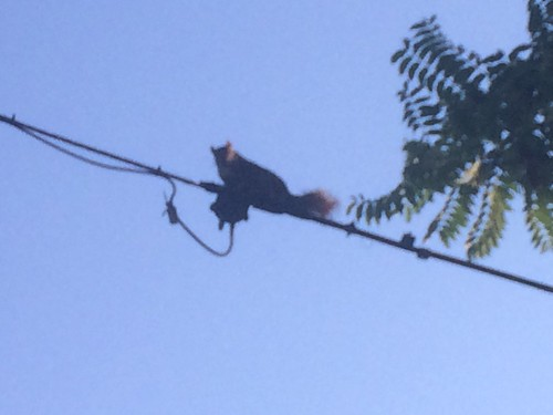 Angry squirrel on the wire