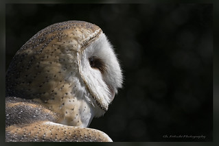 Effraie des clochers / Barn Owl / Tyto alba