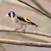 Jilguero (Carduelis carduelis) / European goldfinch