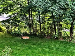 It's like a #wildlife preserve around here! The don't just wander through the yard, they get down to some serious relaxing. I think we caught this one mid nap :sleeping: and snack :leaves:! #connecticut #deer