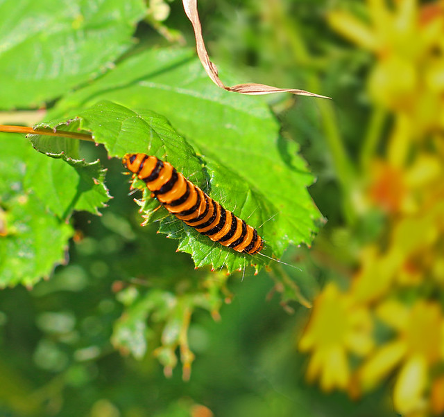 Cinnabar moth caterpillar:  25.7.17.