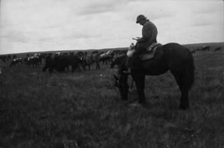 A cowboy reads on his horse while tending a cattle herd, Moose Jaw, Saskatchewan / Cowboy qui lit sur son cheval en s'occupant d'un troupeau de bovins, Moose Jaw (Saskatchewan)