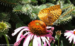 Great Spangled Fritillary Butterfly 20170702_140156-5.jpg