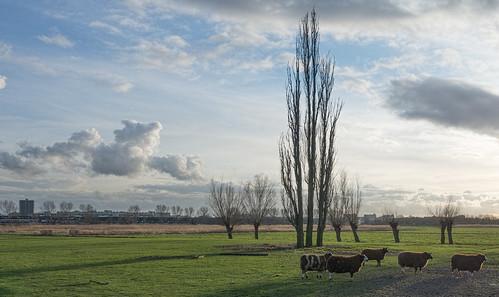 grass landscape schiedam sheep sky trees surreal