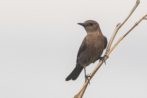 Brown Rock Chat ??