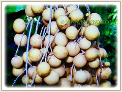 Lovely fruit bunches of Dimocarpus longan (Longan, Lungan, Dragon's Eye, Mata Kuching in Malay), 22 July 2017