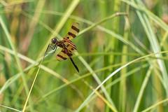 haloween_pennant_dragonfly_kensington_michigan