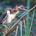 Least Bittern with Something to Say