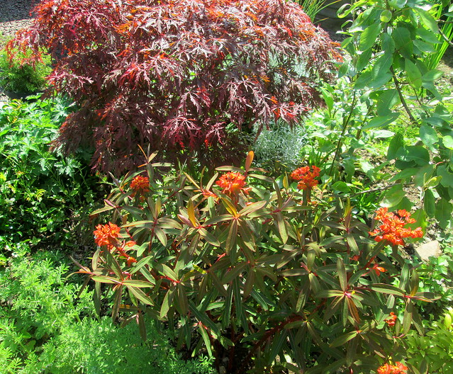 acer and euphorbia