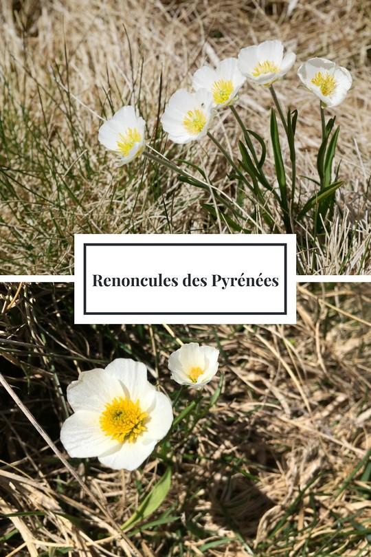 05_Renoncules des Pyrénées