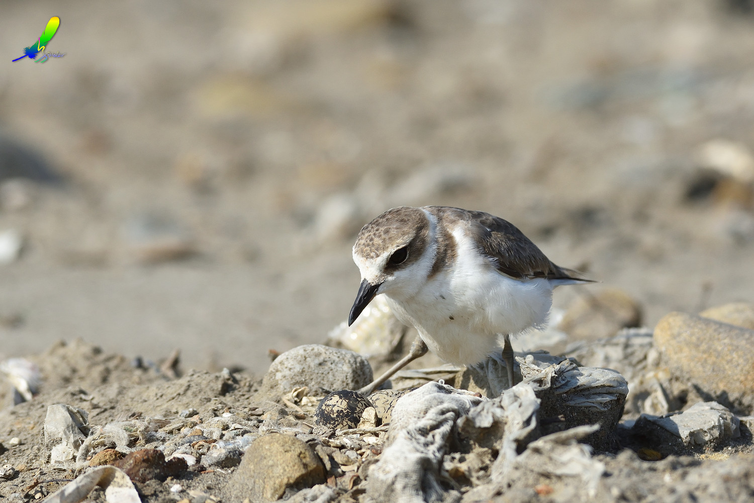 Kentish_Plover_9727