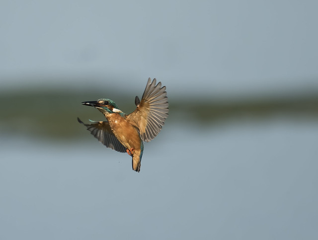 Kingfisher-Alcedo atthis.