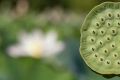 Lotus and Lotus