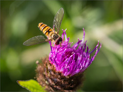 Rosedale Hoverfly on Knapweed