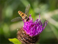 Rosedale Hoverfly on Knapweed