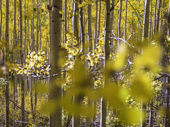 Santa Fe Fall Aspens No. 22
