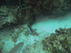 Green Moray Eel Checking Out a Lion Fish