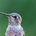 Female Anna's Humminbird