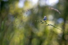 Tout petit Azuré