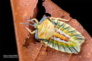 Giant shield bug nymph (Tessaratomidae) - DSC_7196