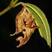 Lobster Moth Caterpillar (Stauropus sp., Notodontidae) by John Horstman (itchydogimages, SINOBUG)