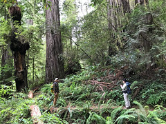 Redwood burls, Chip, Joyce