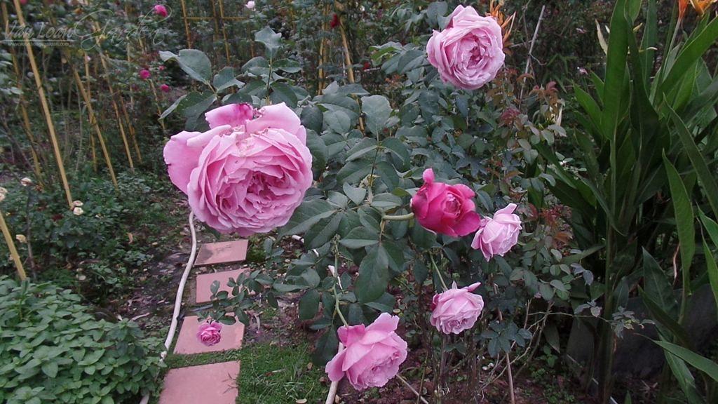 soeur emmanuelle rose (1)+vuonhongvanloan.com.JPG
