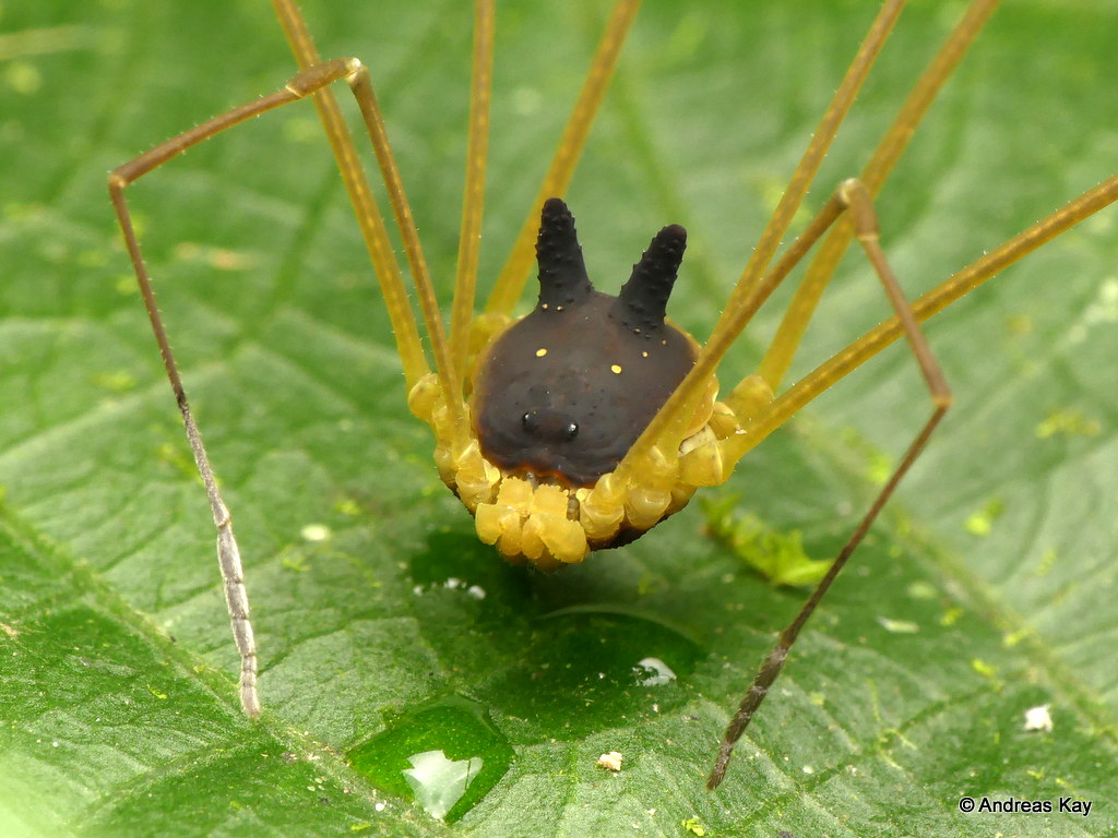 Bunny Harvestman, Metagryne bicolumnata, Opiliones
