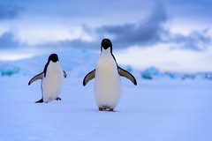 Two penguins come to say hello