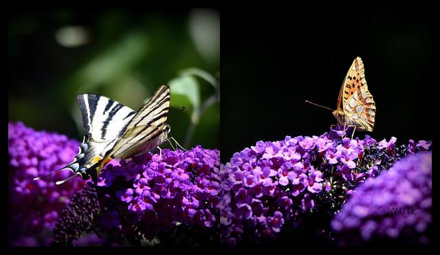 les papillons dans les buddleias